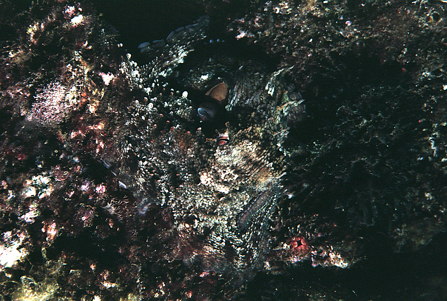 Image of Common octopus