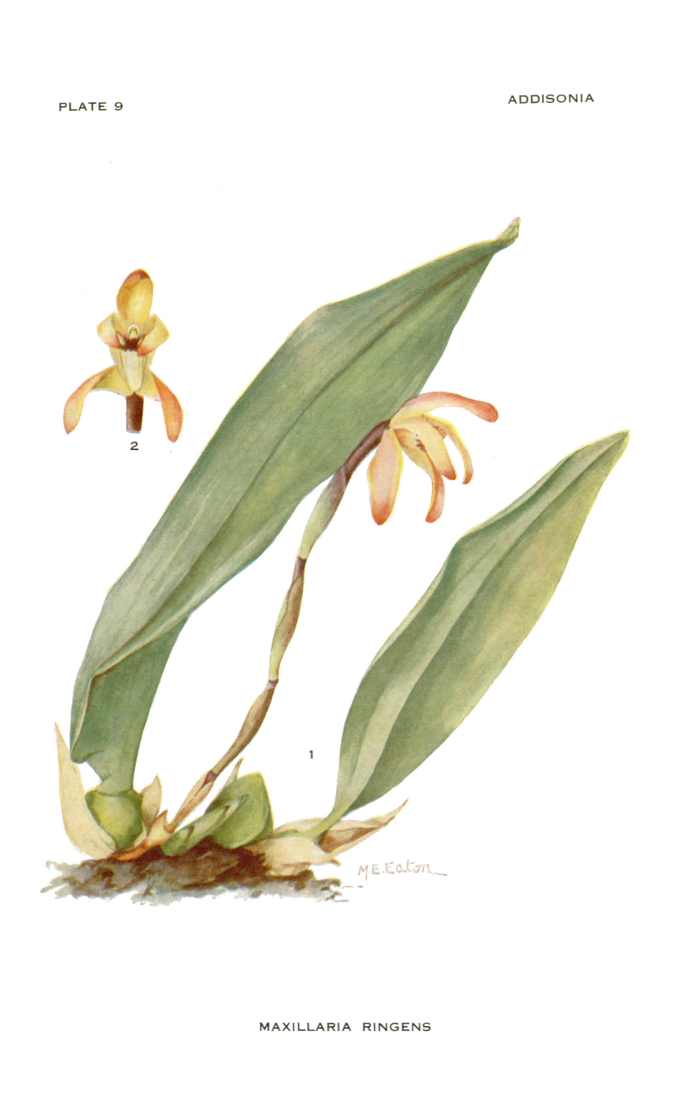 Image of <i>Maxillaria ringens</i> Rchb. fil.