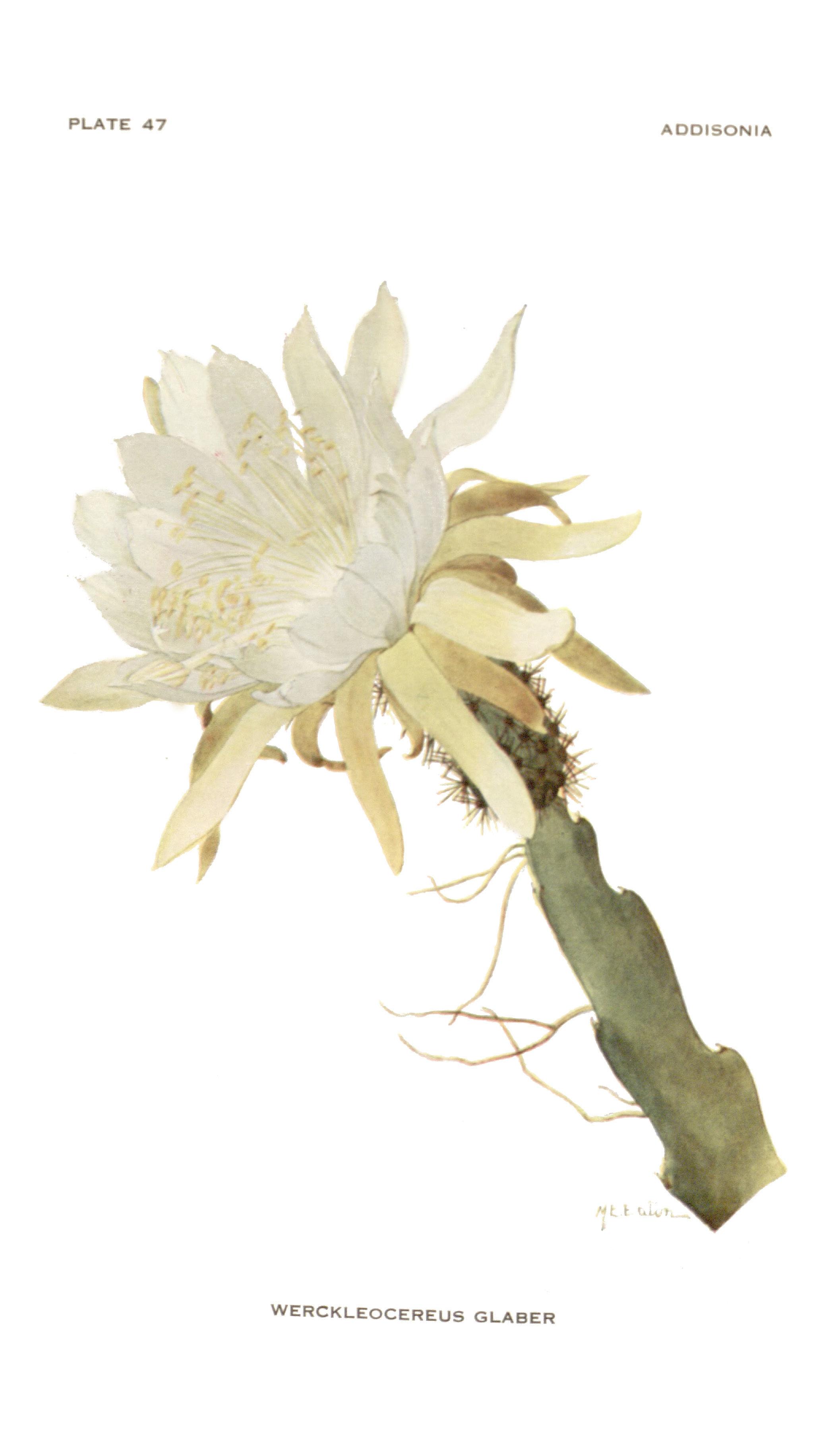 Image of <i>Weberocereus glaber</i> (Eichlam) G. D. Rowley
