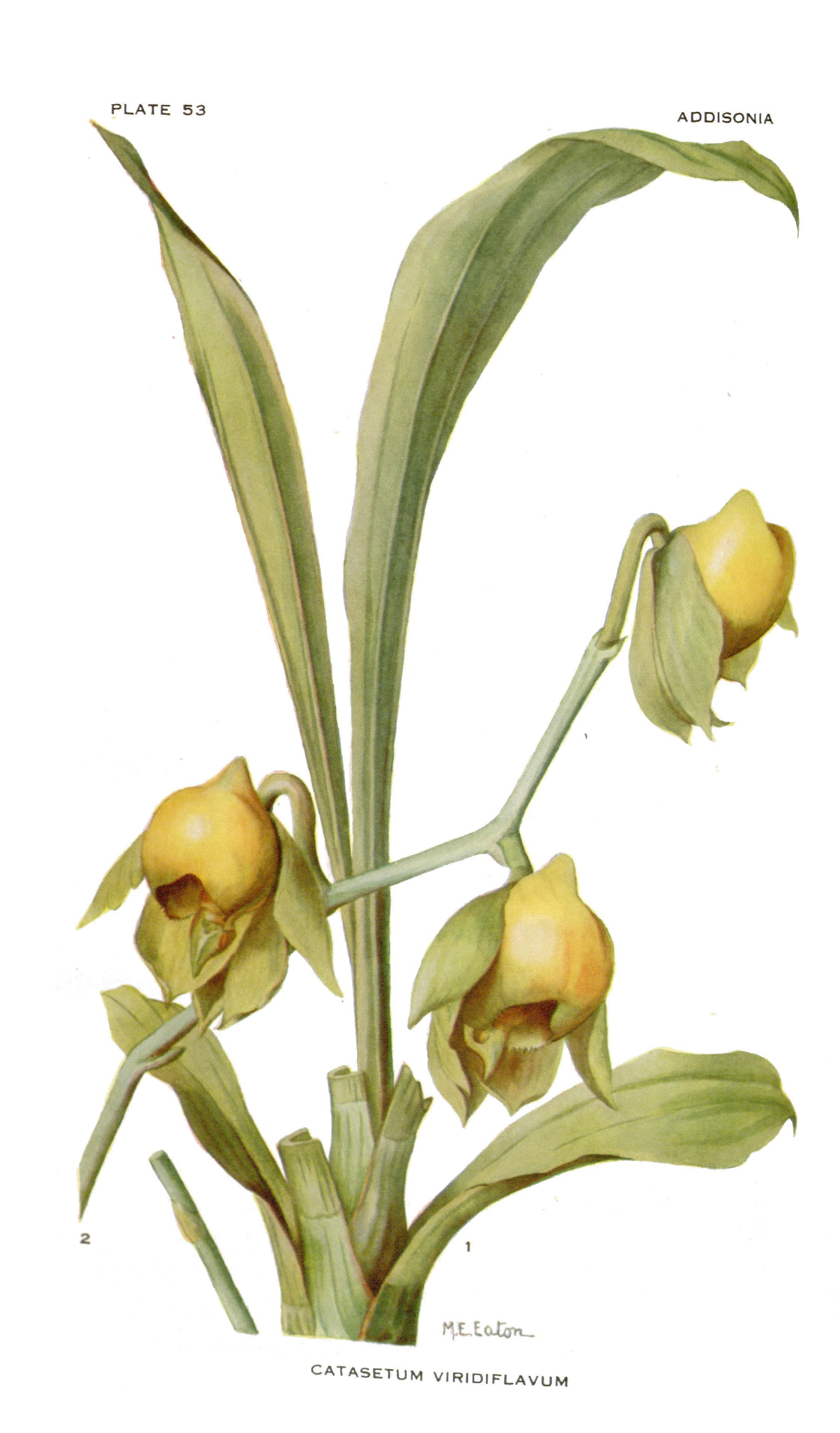 Image of <i>Catasetum viridiflavum</i> Hook.