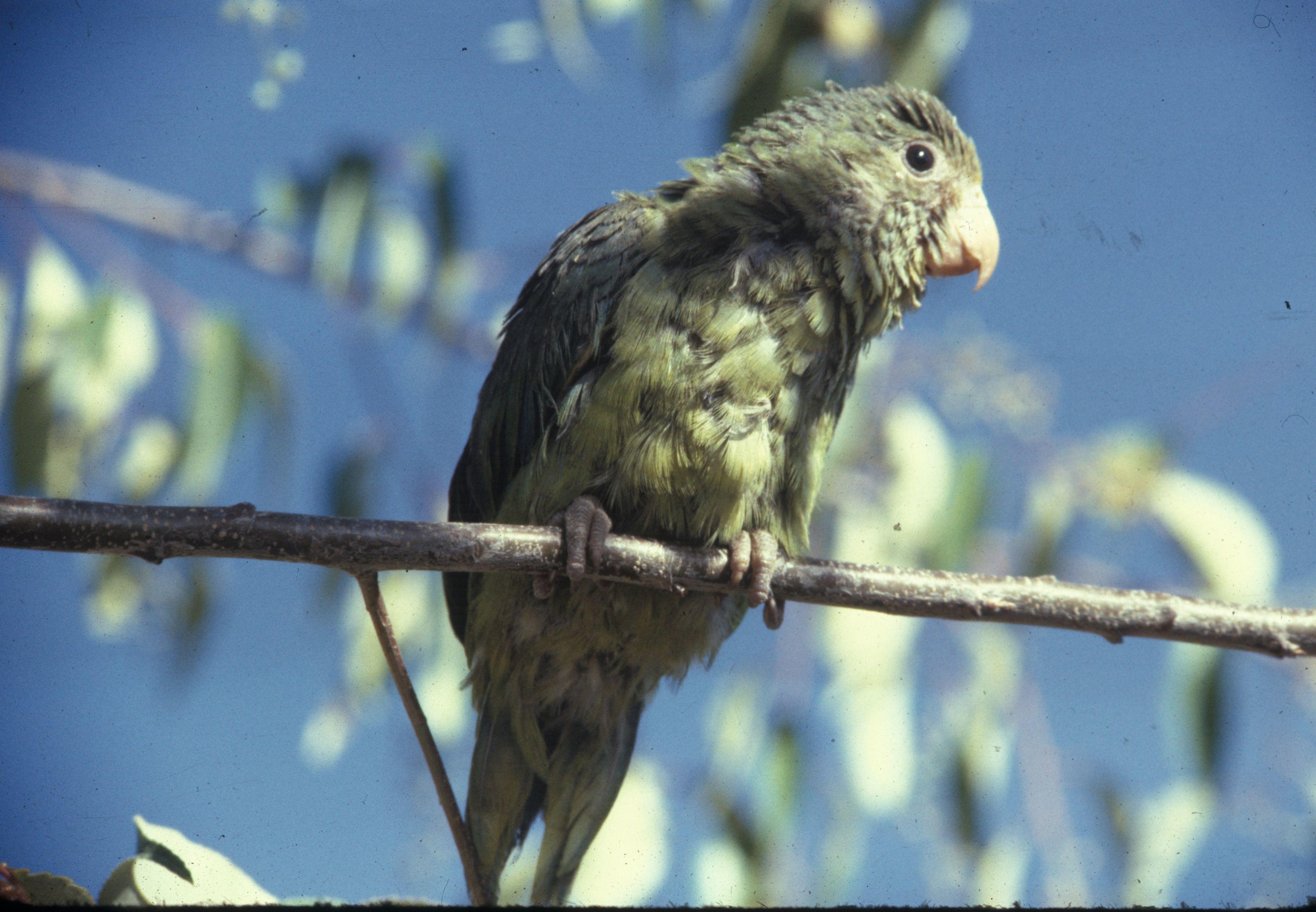 Image of Cobalt-winged Parakeet