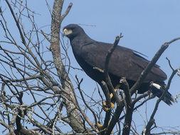 Image of Great black hawk