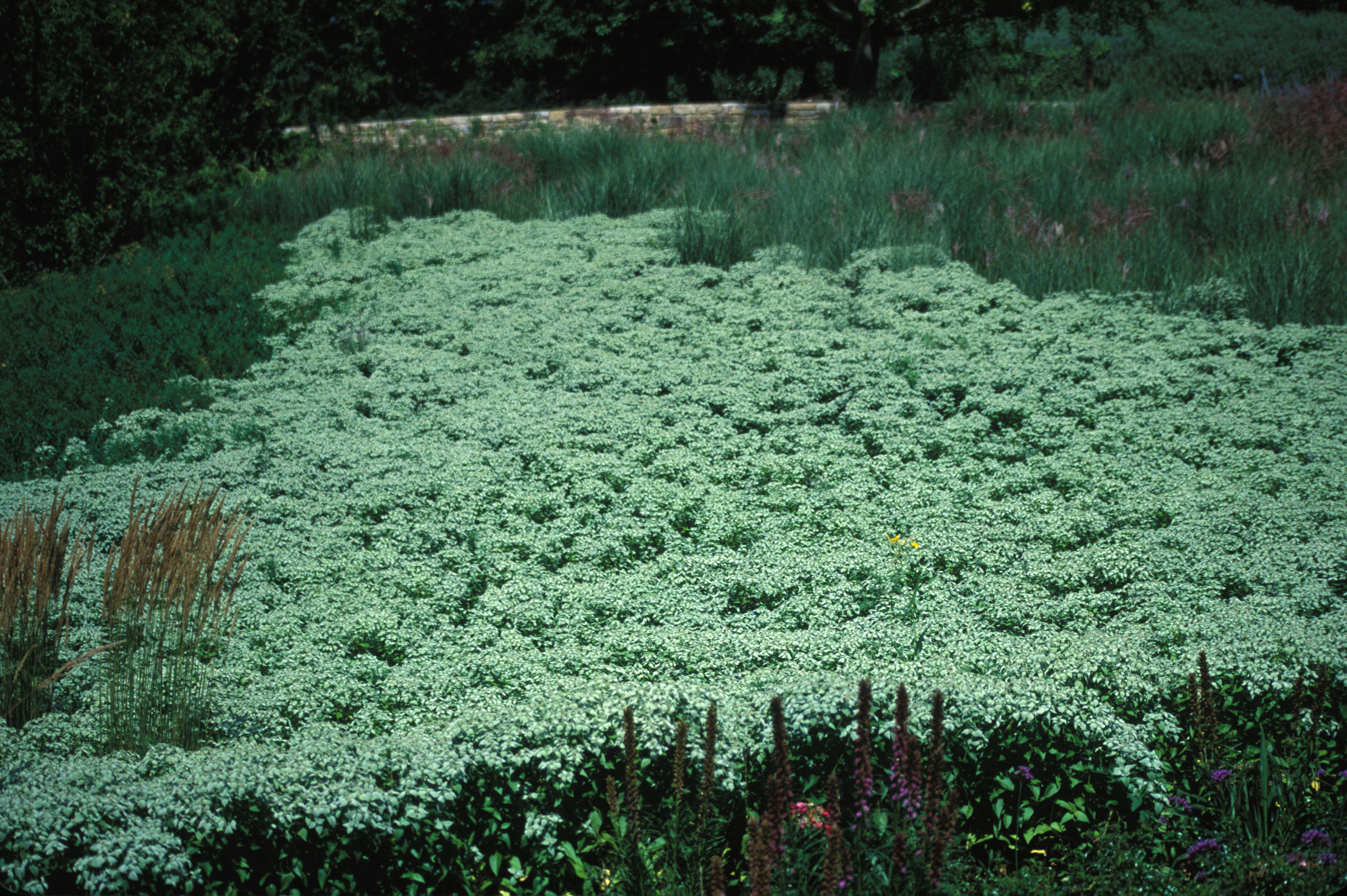 Image of Clustered Mountain-Mint