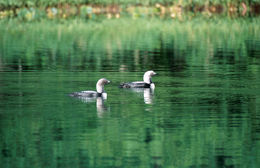 Image of Pacific loon