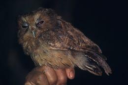 Image of Cinnamon Screech Owl