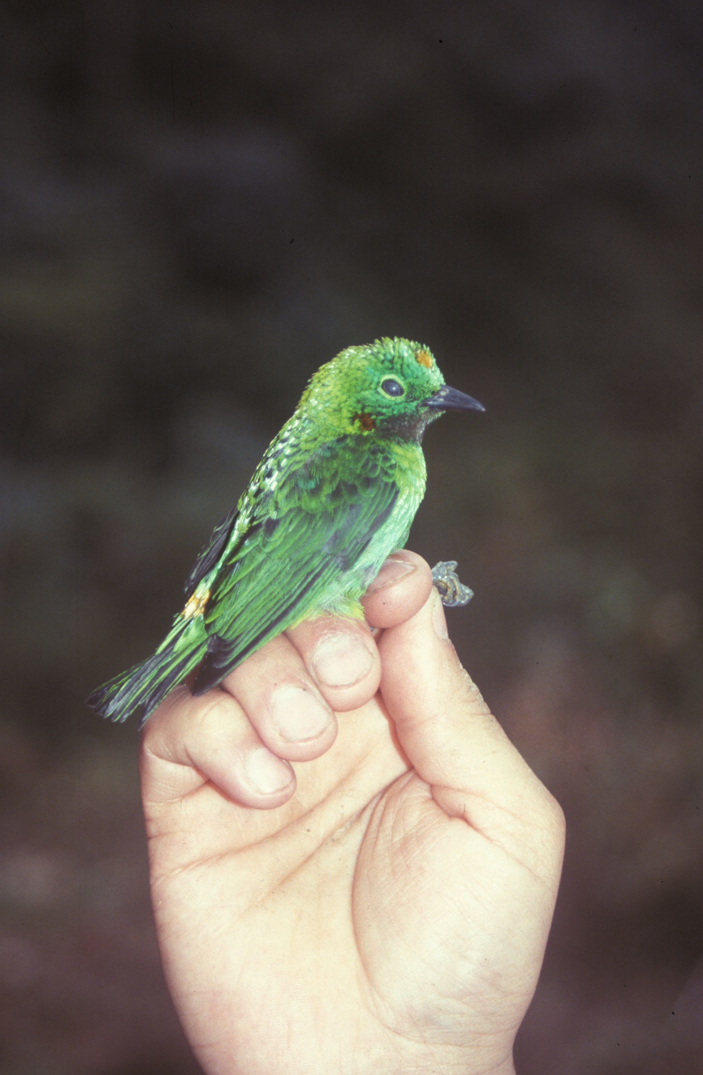 Image of Orange-eared Tanager