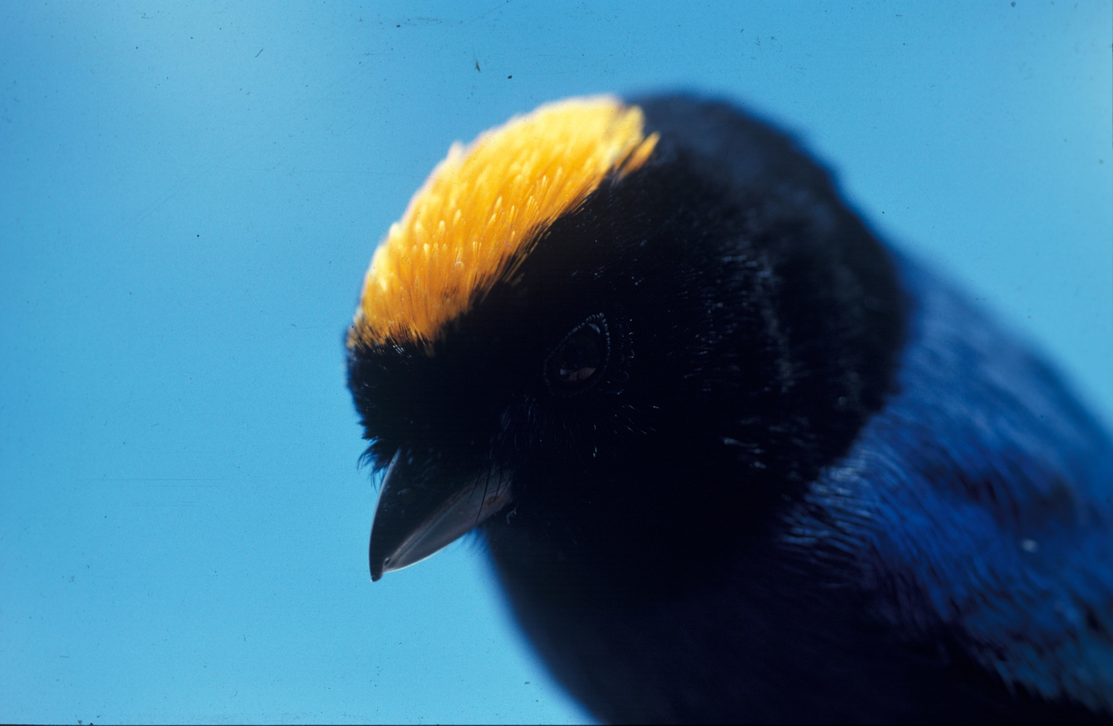 Image of Golden-crowned Tanager