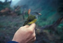 Image of Gray-hooded Bush Tanager