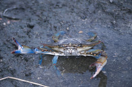 Image of blue crab