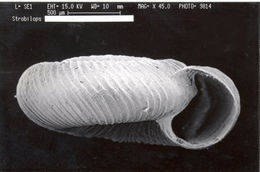 Image of Strobilops