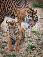 Image of <i>Panthera tigris sumatrae</i> Pocock 1929