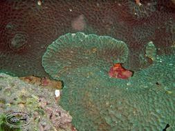 Image of Gardiner's coral