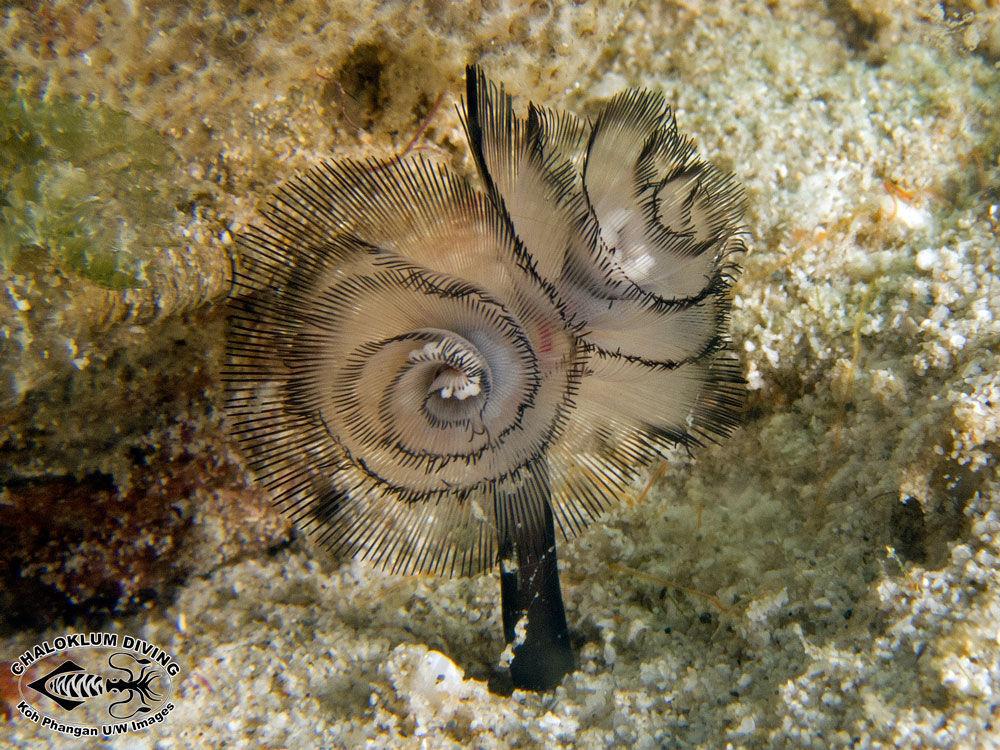 Image of Brown whirl tubeworm