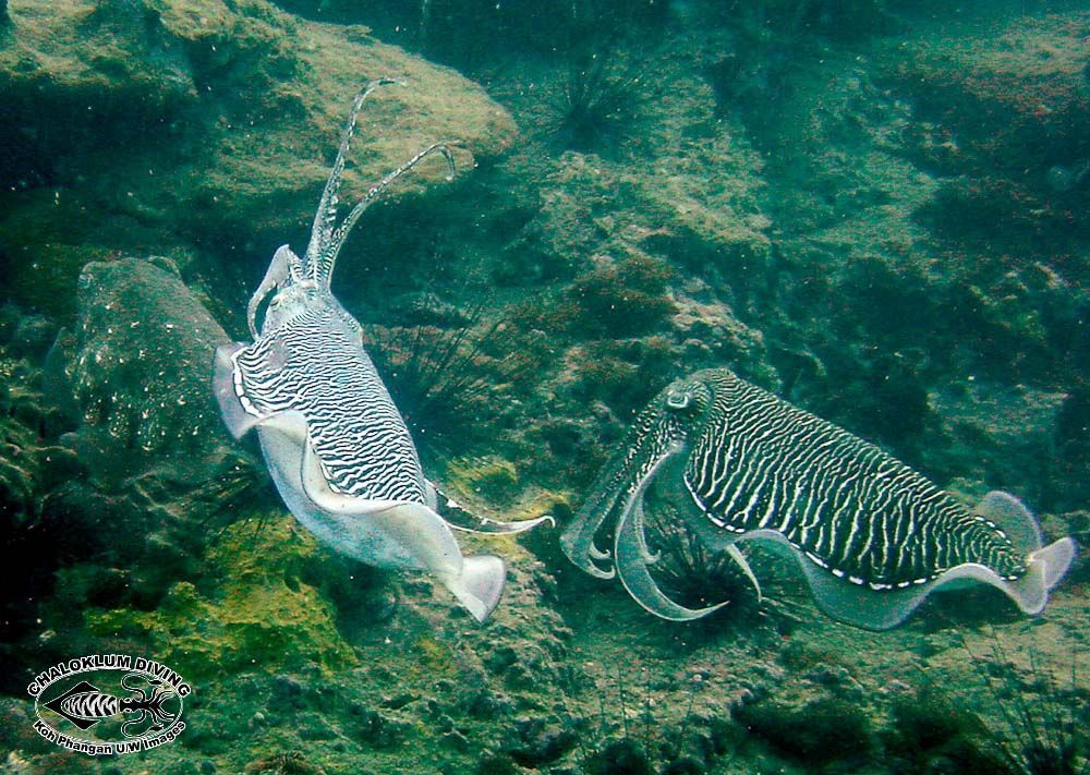 Image of Cuttlefish