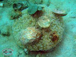 Image of Flower urchin