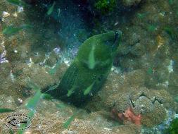 Image of Giant moray
