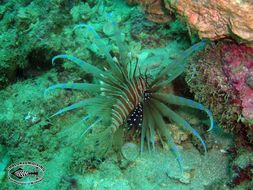 Image of Russell's lionfish