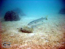 Image of Jello barracuda