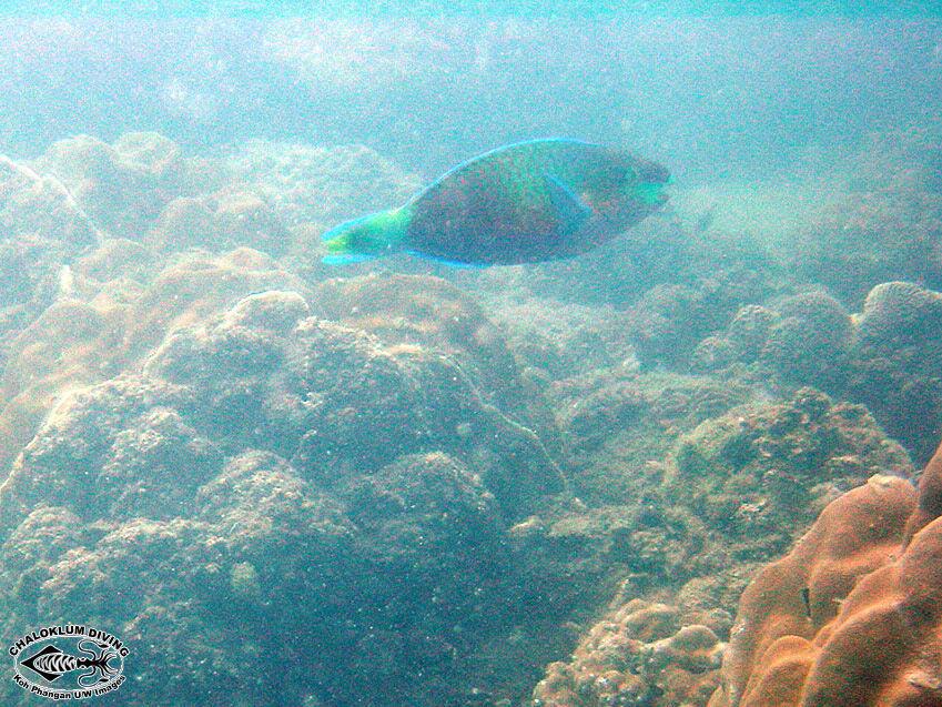 Image of Bullethead Parrotfish