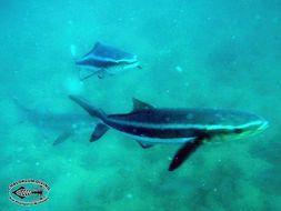 Image of Black King Fish
