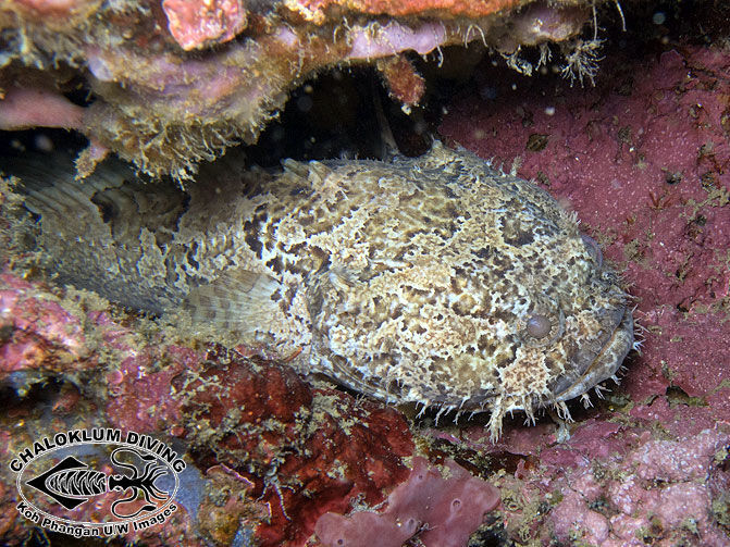 Image of Broadbent's frogfish