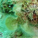 Image of <i>Padina australis</i>