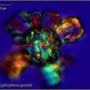 Image of <i>Scyphosphaera apsteinii</i>