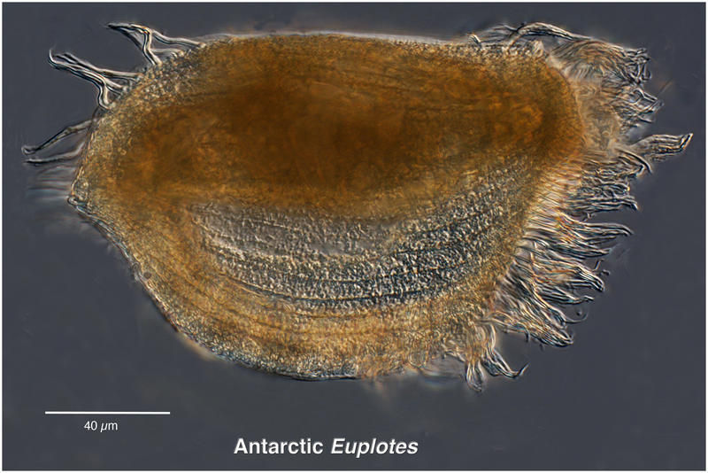 Image of Euplotes