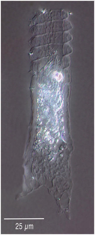 Image of Climacocylis