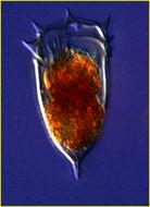 Image of <i>Acanthostomella conicoides</i> Kofoid & Campbell 1929