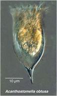 Image of <i>Acanthostomella obtusa</i> Kofoid & Campbell 1929