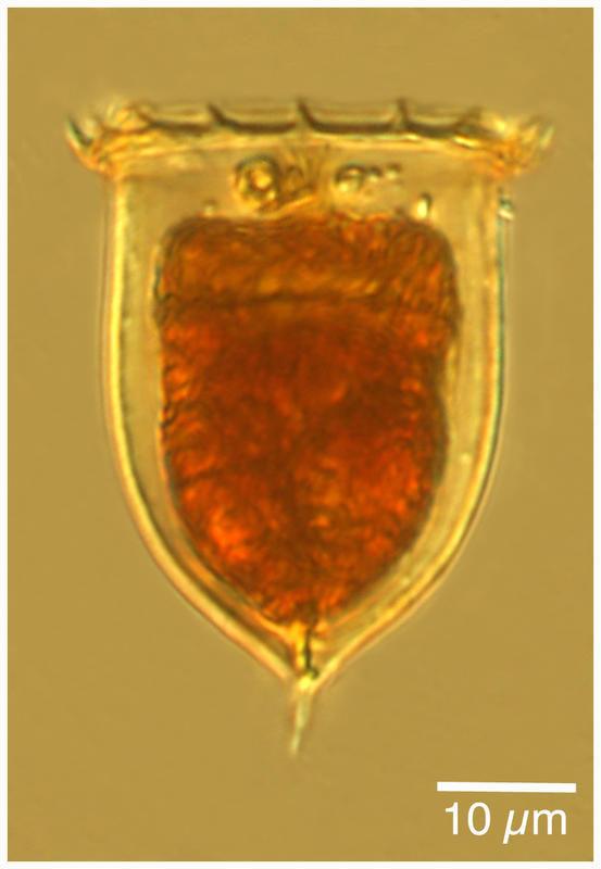 Image of <i>Acanthostomella norvegica</i> (Daday 1887)