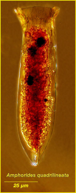 Image of <i>Amphorides quadrilineata</i>