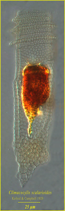 Image of <i>Climacocylis scalaroides</i>
