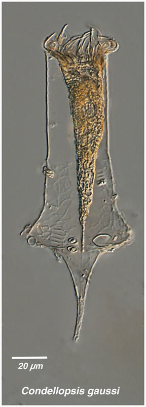 Image of <i>Codonellopsis gaussi</i>