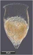 Image of Cymatocylis