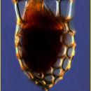 Image of <i>Dictyocysta mitra</i> Haeckel 1873