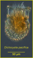 Image of <i>Dictyocysta pacifica</i> Kofoid & Campbell 1929