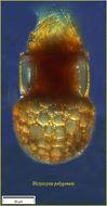 Image of <i>Dictyocysta polygonata</i> Kofoid & Campbell 1929