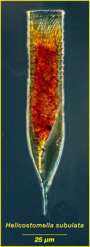 Image of <i>Helicostomella subulata</i>