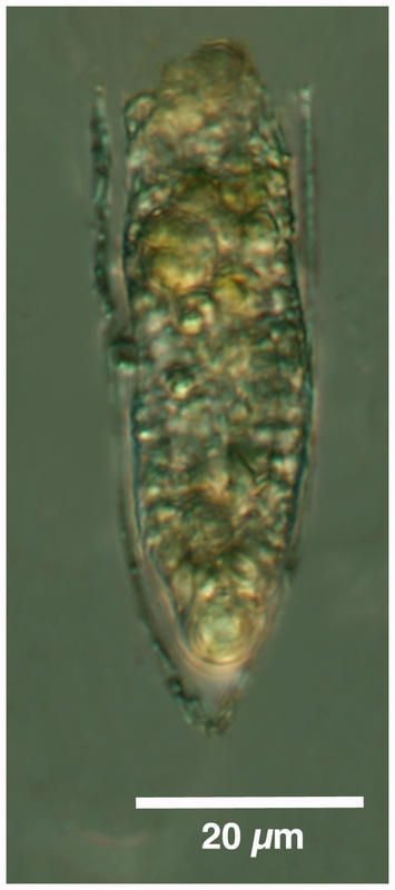 Image of Helicostomella