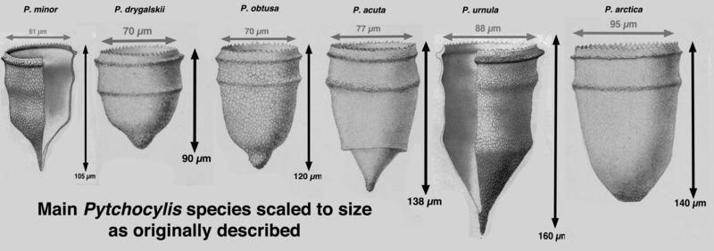Image of Ptychocylis