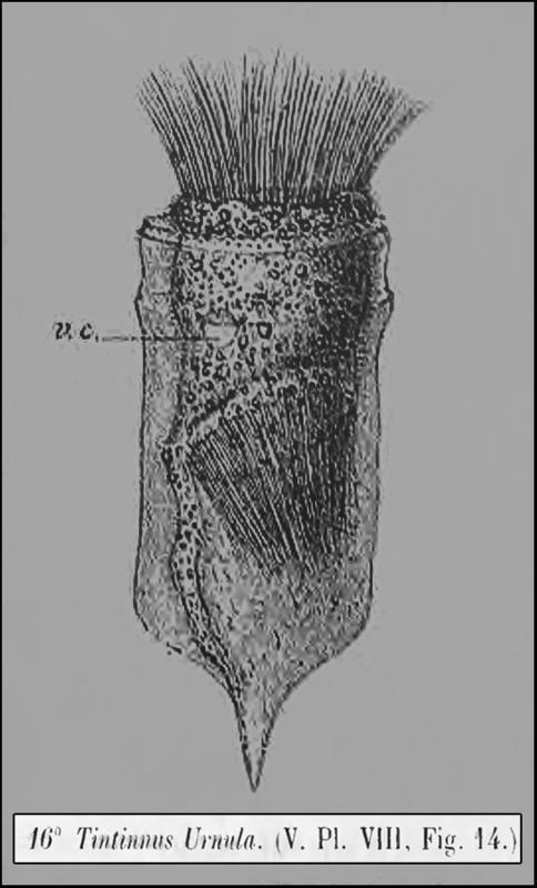 Image of <i>Ptychocylis urnula</i> (Claparède & Lachmann 1858)