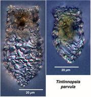 Image of <i>Tintinnopsis parvula</i>