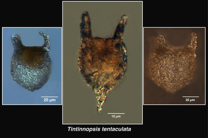 Image of <i>Tintinnopsis tentaculata</i> Nie & Chang 1947