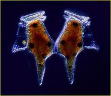 Image of <i>Dinophysis caudata</i>