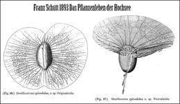 Image of <i>Ornithocercus splendidus</i>