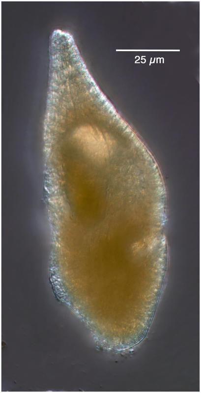 Image of <i>Gyrodinium lachryma</i> (Meunier) Kofoid & Swezy 1921