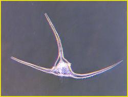 Image of Ceratium