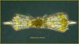 Image of <i>Diploconus fasces</i>